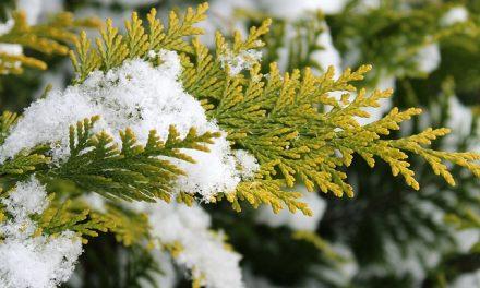 Tuja öntözése télen – Így csináld jól